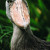 A portrait of a shoebill