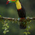 Keel Billed Toucan (Ramphastos S
