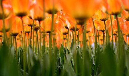 """""""(Les) Tulipes"""""""